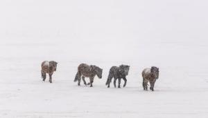Icelandic Ponies often stray onto the road.