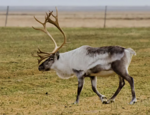 So exciting to see native Icelandic reindeer. But give them plenty of space when driving past them on the road.