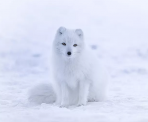 The rare Arctic Fox Can be Seen in Iceland.