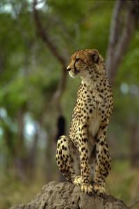 Cheetah_Zambia_4x4_safari_campervan_rental